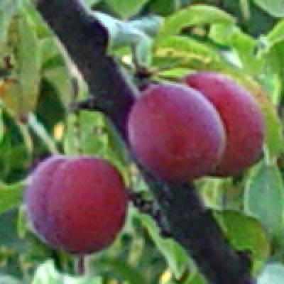 Алычево-сливовый гибрид