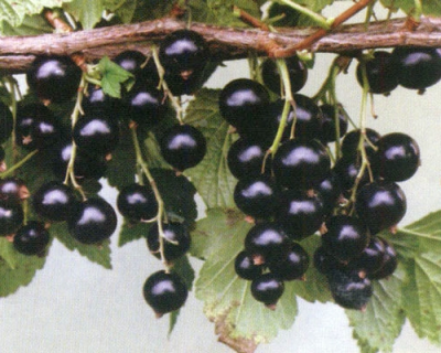 Смородина черная сорт Глариоза