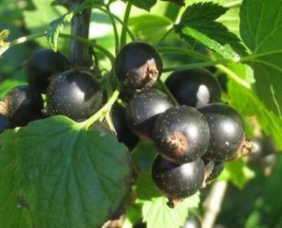 Смородина черная сорт Шадриха