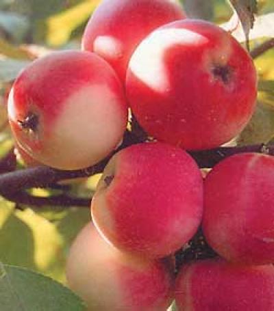 Яблоня сорт Заветное (полукультурка)