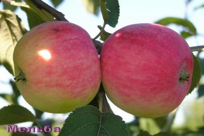 Яблоня сорт Мельба (крупноплодная)
