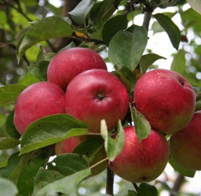 Яблоня сорт Уэлси (крупноплодная)