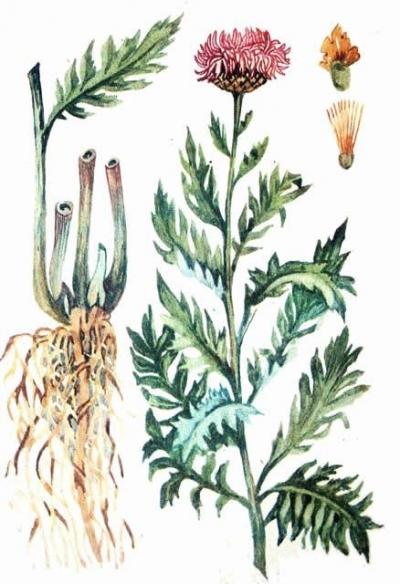 Левзея (маралий корень)