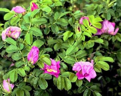 Шиповник Роза-Рогоза
