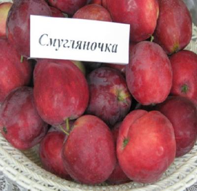 Яблоня сорт Смуглянка (ранет)