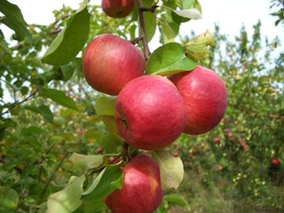 Яблоня сорт Жигулёвское (крупноплодная)