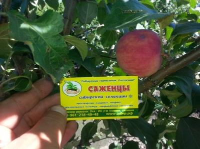 Яблоня сорт  Алтайское Румяное (полукультурка)