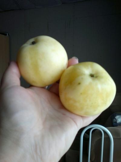 Яблоня крупноплодная колоновидная сорт Искорка