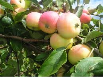 Яблоня сорт Алёнушка (полукультурка)