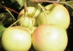 Яблоня  сорт Уральское наливное (полукультурка)