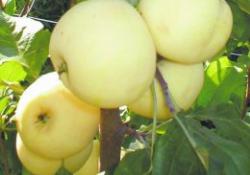 Яблоня сорт Юнга (полукультурка)