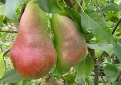 Груша сорт Перун