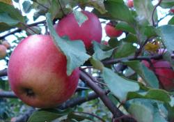 Яблоня сорт Апорт (крупноплодная)
