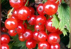 Смородина красная сорт Красная Андрейченко