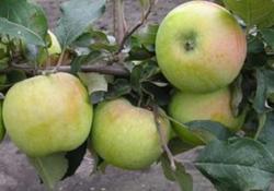 Яблоня сорт Северный синап (крупноплодная)