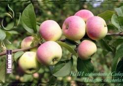Яблоня сорт Подарок садоводам (полукультурка)