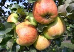 Яблоня сорт Декабрёнок (крупноплодная)