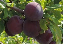 Сливово - вишневый гибрид сорт МАЙНЕР