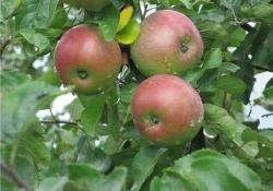 Яблоня сорт зимняя Медуница (крупноплодная)