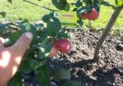 Яблоня сорт Серебряное копытце (полукультурка)