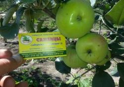 Яблоня сорт Феникс (крупноплодная)