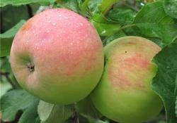 Яблоня сорт Ароматное (крупноплодная)