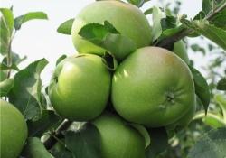 Яблоня сорт Суворовец (крупноплодная)