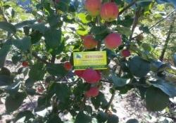 Яблоня сорт Жебровское (ранет)