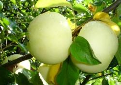 Яблоня сорт Белый налив (крупноплодная)