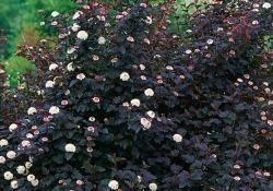Пузыреплодник Пурпуролистный (Диабло)