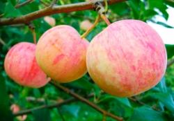 Яблоня сорт Абориген (полукультурка)
