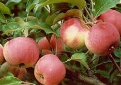 Яблоня сорт Стройное (полукультурка)