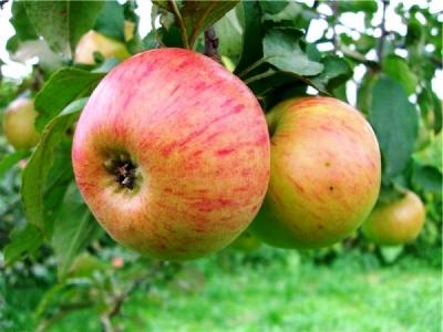 Яблоня сорт летняя Медуница (крупноплодная)